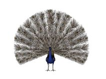 Peacock. A peacock displaying its beautiful feathers Stock Photo