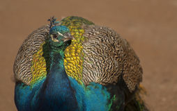 Peacock. Is best known for the male's extravagant eye-spotted tail Stock Image