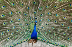 Peacock. With beautiful feathers out showing tail royalty free stock photo