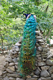 Peacock. With beautiful multicolored tail sitting on stone stock photos