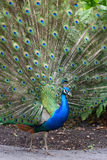 Peacock 3 Royalty Free Stock Photos