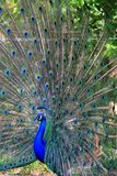 Peacock -3 Royalty Free Stock Image