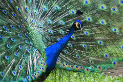 Peacock. Blue peacock with colorful and beautiful open feathers Stock Images