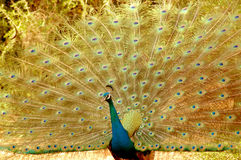Peacock Stock Photo