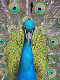 Peacock. Beautiful close-up of a peacock showing proudly its colors Stock Photos