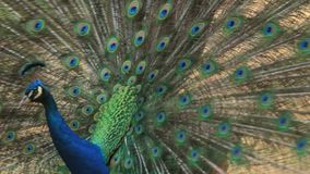 Peacock stock video footage