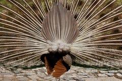 Peacock1 Stock Foto