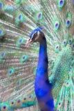 Peacock Στοκ φωτογραφίες με δικαίωμα ελεύθερης χρήσης