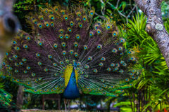 peacock Fotografie Stock