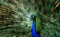peacock fotografia de stock royalty free
