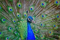Free Peacock Stock Photo - 41402880