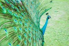 peacock immagine stock