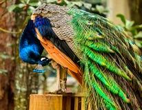 peacock Immagini Stock Libere da Diritti