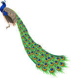 Peacock royalty free illustration