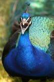 peacock Imagem de Stock Royalty Free