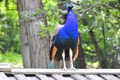 peacock Fotos de Stock Royalty Free