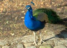 Peacock. A peacock in a zoo Stock Photos