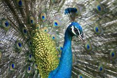 Peacock. Portrait shot of a colorful peacock Royalty Free Stock Photography