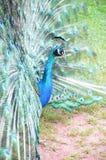 Peacock Στοκ φωτογραφία με δικαίωμα ελεύθερης χρήσης