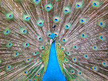 Peacock. The peacock spreads its tail stock images