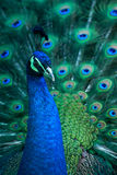 Peacock. A beautiful peacok in zoo stock photo