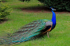 Free Peacock Royalty Free Stock Photography - 46108047