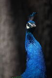 Peacock. A beautiful peacock with colorful feathers stock photos