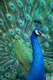 Peacock. A beautiful peacock with colorful feathers royalty free stock image