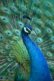 Peacock. A beautiful peacock with colorful feathers stock image