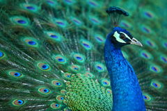 Free Peacock Stock Photography - 4717842