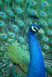 Peacock. A beautiful peacock with colorful feathers Royalty Free Stock Photography
