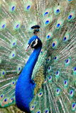 Peacock. A Colourful peacock close up royalty free stock images