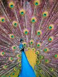 Peacock. A peacock displaying its tail feathers Royalty Free Stock Photos