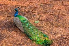 Peacock Στοκ Εικόνα