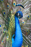 Peacock. Graceful Blue peacock torso profile  (Peafowl Royalty Free Stock Image