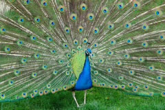 Peacock. Doing what they do best royalty free stock photography