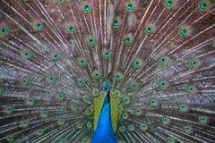 peacock Fotografie Stock