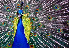 Peacock. With feathers in fan shape Royalty Free Stock Image