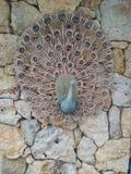 peacock Fotografie Stock Libere da Diritti