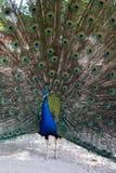 peacock Imagens de Stock Royalty Free