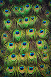 Φτερά ουρών Peacock Στοκ Εικόνες