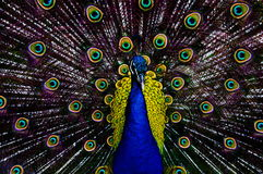 Free Peacock Stock Photography - 56599662