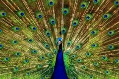 peacock Immagine Stock Libera da Diritti