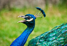 peacock Fotografia de Stock
