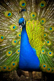 Peacock. Photograph of the beautiful Peacock stock images