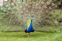 Peacock. Displaying in a wildlife park stock photo