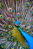 Peacock. Saturated image of peacock showing off his feathers Royalty Free Stock Images