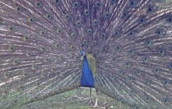 Peacock. With feathers spread Royalty Free Stock Images