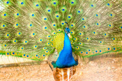 peacock Fotografia de Stock Royalty Free