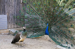 peacock Fotos de Stock